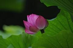 Good morning (tez-guitar) Tags: lotus flower blossoms bloom green summer leaves leaf pentax pentaxart petal machida machida