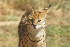 063_Great Cats Park_Serval (steveAK) Tags: greatcatsworldpark serval