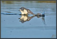 Sir Lance-a-lot (WanaM3) Tags: wanam3 nikon d7100 nikond7100 texas pasadena clearlakecity horsepenbayou bayou animal bird nature wildlife canoeing paddling foraging splash heron tricoloredheron reflection