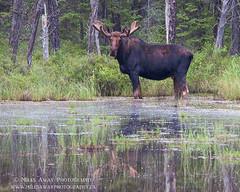 Moose Poser (Miles Away Photography - Mandi Miles) Tags: moose canada ontario north bull antler velvet shed fur big giant bog marsh habitat environment wild wildlife swamp roadside