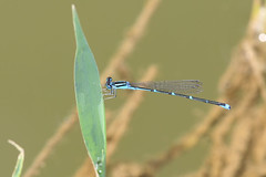 Stream Bluet - Enallagma exsulans - Kenton County, Kentucky, USA - August 26, 2016 (mango verde) Tags: streambluet enallagmaexsulans coenagrionidae narrowwingeddamselflies enallagma exsulans damselfly odonata bluet banklickcreek pioneerpark kentoncounty kentucky usa