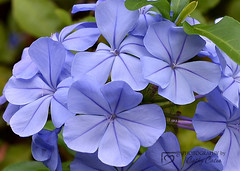 Blooms of Blue (Cathy Cates (aka CrafteeCC)) Tags: plumbago flower