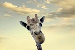 Hey, can I have a ride? (Teresa Schmid Photography) Tags: giraffe african safari wildlife park animal animals outdoor