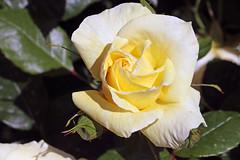 Maig_1300 (Joanbrebo) Tags: 16concursinternacionalderosesnovesdebarcelona efs18135mmf3556is canoneos70d autofocus eosd park parque parc parccervantes garden jard jardn barcelona blumen blossom flores flors flowers fiori fleur