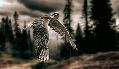 Flying Hawk (Delbrücker) Tags: hawk falke bird vogel animal tier nature natur outdoor nikond610 nikkor 70200mm 28