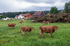 Eye contact (Clydomatic) Tags: vache vaches pr maisons
