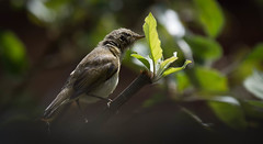 Summer (cuppyuppycake) Tags: bird summer wanstead nature wildlife perch tree bokeh nikon d7200