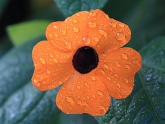 Waterdrops on Orange Flower Macro (hbickel) Tags: waterdrops orange flower macro macrolens canont6i canon photoaday pad backyard