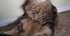 Meet my girlfriends derpy cat Axel via http://ift.tt/29KELz0 (dozhub) Tags: cat kitty kitten cute funny aww adorable cats