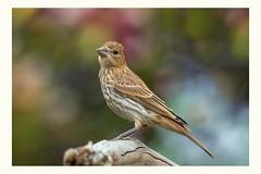 I'm such a romantic fool (Krasne oci) Tags: bird wildbird wildlife nature songsparrow bokeh garden songbird backyard evabartos artphoto