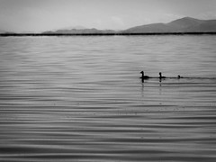 lake ducks b and w.jpg (actionjackson.special1) Tags: laketiticaca ducks fishing descending happy bw southamerica