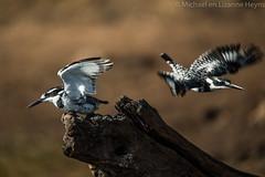 Pied Kingfisher (michael heyns) Tags: chobeliuwazambia piedkingfisher bontvisvanger