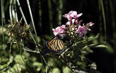 Butterfly's World (Joe Josephs: 2,861,655 views - thank you) Tags: centralpark joejosephs nyc newyorkcity copyrightjoejosephs landscapephotography outdoorphotography ny usa landscapes urbanparks parks cityparks naturephotography urbannature travelphotography travel insects butterflies butterfly nature naturallight