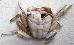 Aratus pisonii exoskeleton (mangrove tree crab) (Sanibel Island, Florida, USA) (James St. John) Tags: aratus pisonii mangrove tree crab ding darling national wildlife refuge sanibel island florida crustacean crabs crustaceans crustacea brachyura decapoda mangroves rhizophora mangle chitin exoskeleton carapace