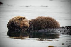 Napping Mother and Baby Sea Otter (mbryan777) Tags: d8j4797cx12x82 californiaseaotter motherandpup sea otter mammal california big sur coast ocean pacific cute baby mother fur morrobay nikon d800 tamron 150600 motherandbaby seaotters centralcoast bigsurcoast