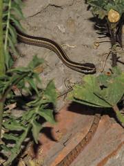 Una pequeita culebra de cola larga (Philodryas chamissonis) vista hoy en Maip (Pablo Moreno V) Tags: culebra philodryaschamissonis liolaemuslemniscatus lagartija snake lizard reptiles chile fauna canon