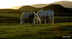 If I swish my tail they can see you (mootzie) Tags: sunlitscotland horses grazing croft white manes tails swishing luskentyre harris
