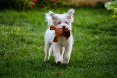 Running dog (Teto) (mohammedjabry) Tags: dog dogs pet pets canichedog caniche poodle adorable cute whitedog playful running