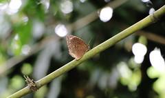 IMG_0480 (trevor.patt) Tags: butterfly palauubin singapore