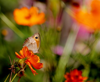Meadow brown butterfly on cosmos flower