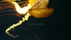 Pacific sea nettle (qrsk) Tags: jellyfish water aquarium gold   japan
