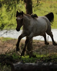 Horse (Rknebel) Tags: horse cavalocrioulo