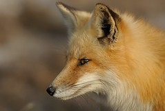Red Fox Portrait (Mark Schwall) Tags: mammal newjersey nj fox oceancounty redfox islandbeachstatepark