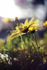 Each Flower is a Soul (redaleka) Tags: life morning flowers light summer sun flower color green nature colors beauty grass souls yellow daisies garden lights spring focus day dof blossom bokeh sunny soul lensflare flare daisy blossoming