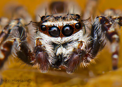 Male Common House Jumper (Menemerus bivittatus) (Zeen.) Tags: portrait hairy macro face spider jumping nikon singapore arachnid insects arachnology arthropod macrophotography zeen hussain 105mm salticidae 105mmf28gvrmicro hirzi d7000 elitebugs