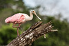Roseate Spoonbil, bird, 05 May 2012. Tarcoles, Costa Rica (mikebaird) Tags: river costarica crocodile iphone notgps tarcoles notgeotagged mikebaird tårcoles 05may2012