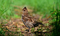 Hazel Grouse (Gamtosfoto - Andrius Čeponis) Tags: bird nature hazelgrouse bonasabonasia