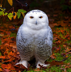 Snowy Owl in Autumn (EXPLORE) (Steve Wilson - classic view please) Tags: uk greatbritain autumn red portrait england white bird fall nature beautiful beauty up leaves animal yellow gardens closeup garden zoo leaf interestingness eyes nikon close cheshire britain snowy wildlife ngc great harry potter harrypotter conservation arctic explore chester npc raptor owl stare prey d200 hogwarts captive staring avian birdofprey hedwig captivity carnivore upton snowyowl chesterzoo zoological zoologicalgarden zoologicalgardens nikond200 explored arcticowl caughall mygearandme mygearandmepremium mygearandmebronze mygearandmesilver mygearandmegold mygearandmeplatinum mygearandmediamond dblringexcellence tplringexcellence galleryoffantasticshots vigilantphotographersunite vpu2 vpu3