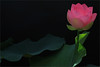 pink lotus flower on black - IMG_7019-1-1000 (Bahman Farzad) Tags: pink black flower yoga peace lotus relaxing peaceful meditation therapy mimamorflowers