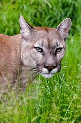 Puma 4 (Funky Foxy) Tags: puma bigcats pumaconcolor flickrbigcats endangeredbigcats