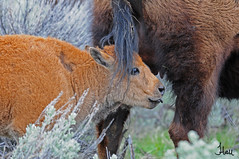 Happy Mother's Day - 7716bsg (teagden) Tags: park baby love happy photography spring buffalo day wildlife mothers national yellowstone calf bison protection protect ynp 2011 wildlifephotography jenniferhall