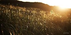 Die Wärme der Sonne (kugluz) Tags: light sun holland netherlands grass sunrise licht dunes dune gras sonne nordsee sonnenaufgang morgen düne niederlande gegenlicht dünen noord northsee wärme warmness