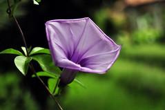 Purple Flower Close-up (e.nhan) Tags: flowers macro green nature closeup dof purple bokeh enhan