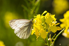 Green-veined White (andy816896) Tags: ireland macro nature canon butterfly insect bokeh 100mm greenveinedwhite westmeath bunbrosna 550d loughowel irishwildlife canon550d canonef100mmf28lmacroisusm lightroom4