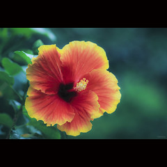 Beautiful Hibiscus (-clicking-) Tags: red flower macro green nature floral beautiful beauty yellow closeup garden petals flora dof natural blossom bokeh charm stamens hibiscus bloom lovely charming blooming pistils hoadâmbụt coth5 vietnameseflowers
