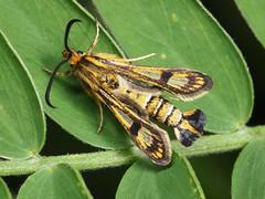 Chamaesphecia sp. (terraincognita96) Tags: germany nordrheinwestfalen northrhinewestphalia sesiidae chamaesphecia nsgurdenbacherkmpe