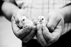 (ɿəxıdɿɐəɹun) Tags: blackandwhite bw white black flickr mani bn chicks bianco nero biancoenero mija bienne pulcini unrealpixel mijabuffa