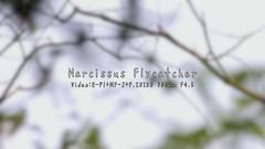 キビタキの囀り / Narcissus Flycatcher (Polotaro) Tags: bird nature pen olympus 自然 zuiko ep1 鳥 ペン 野鳥 オリンパス 黄鶲 ズイコー キビタキ fzuiko300mmf45