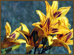 (Cliff Michaels) Tags: red floral yellow photoshop nikon tennessee blountcounty d5000 pse9