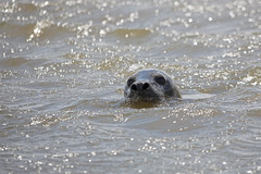 Grey Seal (Future-Echoes) Tags: eye water animal head seal essex greyseal waltononthenaze