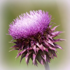 THE ELEGANT BULL THISTLE (PALEIDIA-Very Busy) Tags: bullthistle