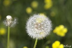 biðukolla3 (Anný) Tags: flowers white green yellow blóm gulur hvítur fluffball grænn biðukolla