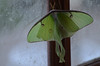 luna moth (Sheeps and Peeps Farm) Tags: green actiasluna frequentvisitor poppytalk summercoloursweek