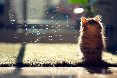 Kitten Observes Transit of Bubbles (torode) Tags: green japan backlight cat carpet tokyo persian kitten glow bubbles lookingup