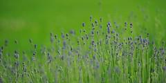 Dreamy (nikkorglass) Tags: pink summer green home june juni garden nikon dof purple sweden bokeh lila serene sverige nikkor 70200 f28 vr 2012 hemma sommar trädgård lavendel grön nikkorglass d700 stillsamt