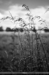[179/365] Grass (Rich Jankowski) Tags: england blackandwhite bw white black field grass canon eos mono blackwhite unitedkingdom photoaday gb l 5d 365 usm ff f28 ef mkii yabbadabbado 2470 5d2 skancheli 2012inphotos